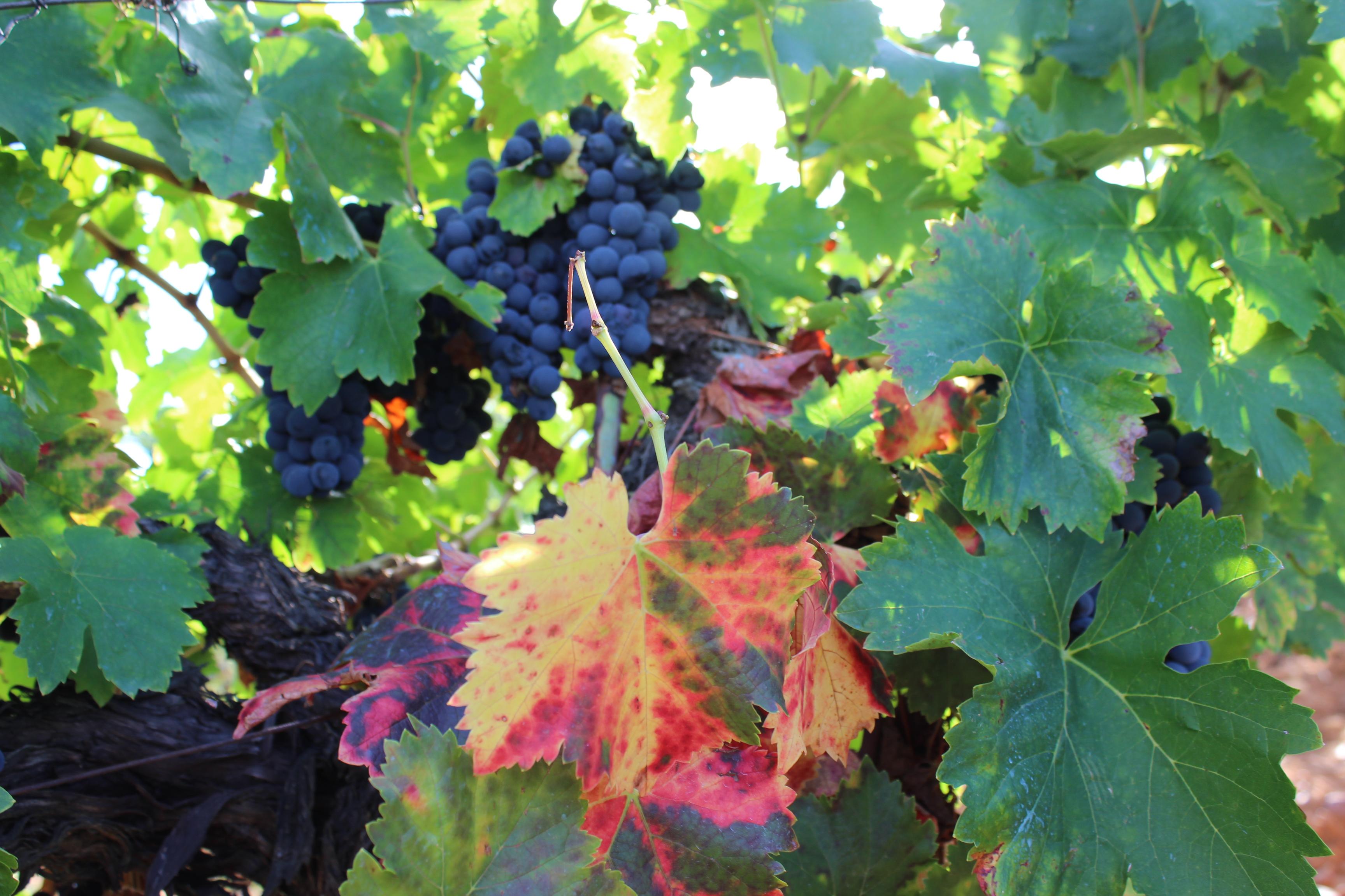 Mencia | vino del bierzo